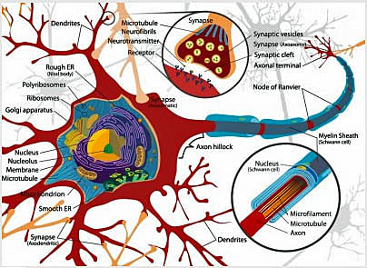 Illustration of neuron and synapses